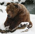 Kodiak Bear - Buffalo Zoo.jpg