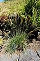 Koeleria macrantha - UBC Botanical Garden - Vancouver, Canada - DSC08301.jpg
