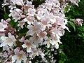 Kolkwitzia amabilis fleurs Périgueux (2).jpg