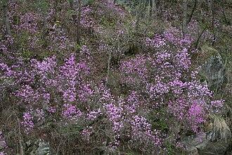 Hongcheon County - Blooming Azalea, the county flower