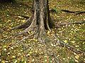 Korzenie w Parku Wodziczki, Poznan.jpg