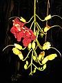 Kp Kigelia pinnata flowers IMG 9166 (2216465734).jpg