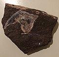 Kudjanowiaspis fossil.jpg