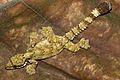 Kuhl's Flying Gecko (Ptychozoon kuhli) (8744026399).jpg