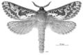 LEPI Hepialidae Aoraia lenis f.png