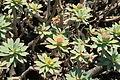 La Palma - Garafía - Vía Puerto de Garafía + Euphorbia balsamifera 06 ies.jpg