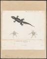 Lacerta schneideriana - 1700-1880 - Print - Iconographia Zoologica - Special Collections University of Amsterdam - UBA01 IZ12300083.tif