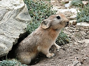 Description de l'image Ladakh Pika 2007.jpg.