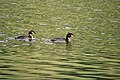 Lake Johnson Grebes.jpg