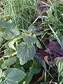 Lamium purpureum 109094339.jpg