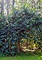 Lantana camara tree.jpg