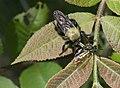 Laphria P1030567a.jpg