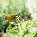 Large Skipper butterfly 3 (9127688084).jpg