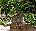 Large Wall Brown. Lasiommata m. maera f.adrasta - Flickr - gailhampshire (2).jpg