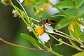 Large milkweed bug (43084381350).jpg