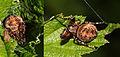 Larinioides-patagiatus.jpg