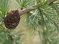 Larix decidua cone (detail) (14747600238).jpg