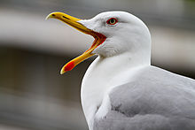 Larus michahellis, Kavala, Greece 2013.JPG