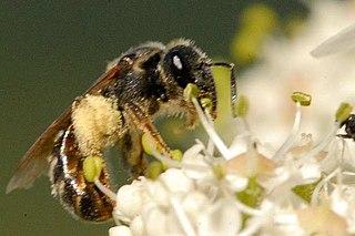 <i>Lasioglossum leucozonium</i> species of insect