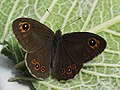 Lasiommata maera - Large wall brown - Бархатка (42270299444).jpg