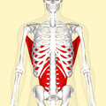 Latissimus dorsi muscle frontal.png