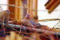 Laughing Dove (Spilopelia senegalensis) at Ankara.jpg