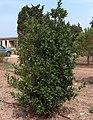 Laurus nobilis g1.jpg