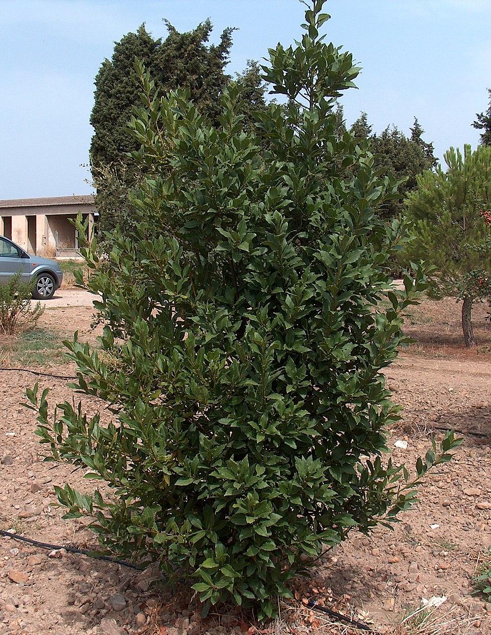 Laurus nobilis g1