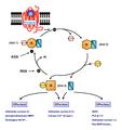 Le cycle des protéines G.png