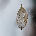 Leaf (11773855933).jpg
