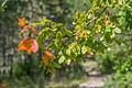 Leaves of Acer campestre 05.jpg