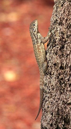 Leiocephalus carinatus armouri tree.jpg