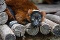 Lemur (36477110861).jpg