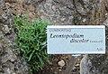 Leontopodium discolor GiardinoBotanicoAlpinoViote 20170902 Y.jpg