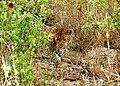 Leopard 004.jpg