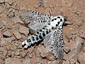 Leopard Moth (Zeuzera pyrina) (8338472652).jpg