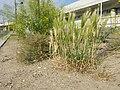 Lepidium ruderale + Hordeum murinum subsp. murinum sl1.jpg