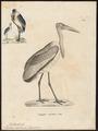 Leptoptilos javanicus - 1700-1880 - Print - Iconographia Zoologica - Special Collections University of Amsterdam - UBA01 IZ17600065.tif