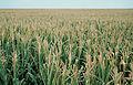 Les Plantes Cultivades. Cereals. Imatge 68.jpg