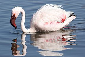 Lesser Flamingo, Phoenicopterus minor at Marievale Nature Reserve, Gauteng, South Africa (27623567310).jpg