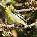 Lesser Goldfinch (western variety) (4631275063).jpg