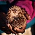 Lesser Hedgehog Tenrec, Madagascar (21572312156).jpg