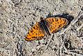 Lesser Spotted Fritillary (Melitaea trivia fascelis).jpg