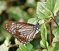 Lesser Zebra (Pathysa macarens) at Samsing, Duars, West Bengal W IMG 6373.jpg