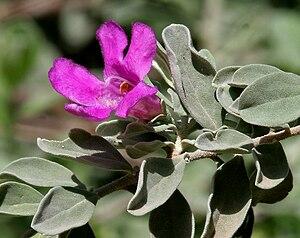 Scrophulariaceae - Leucophyllum frutescens