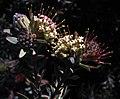 Leucospermum wittebergense Tony Rebelo.jpg