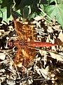Libellula saturata-Male-2.jpg