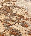 Lichens near Wlotzkasbaken, Namibia.jpg