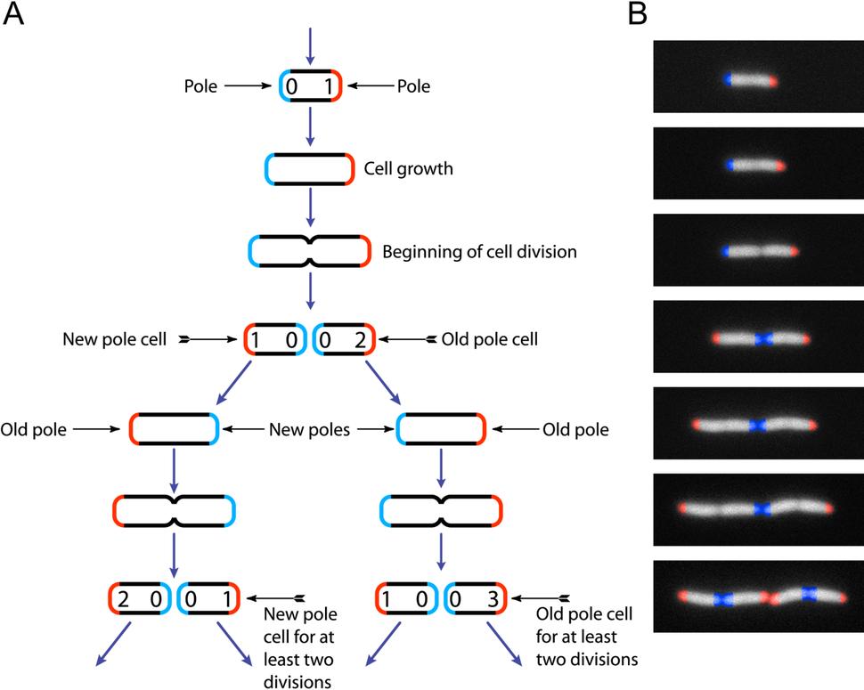 Life cycle of Escherichia coli