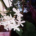 Lilas blanc..jpg